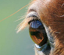 Equine Ophthalmic (Eye) Care